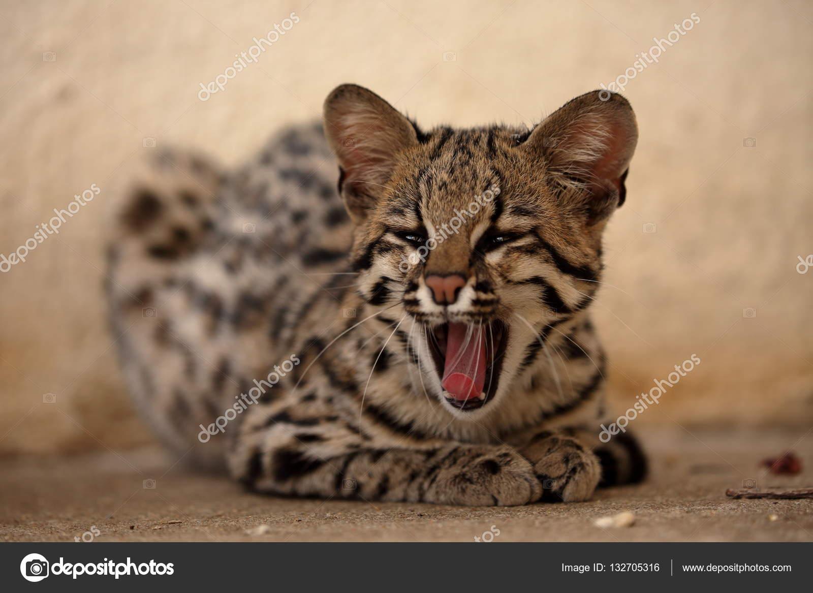 Tygrys Kot Lub Ocelot Kot Z Brazylii Zdjęcie Stockowe Hecke06