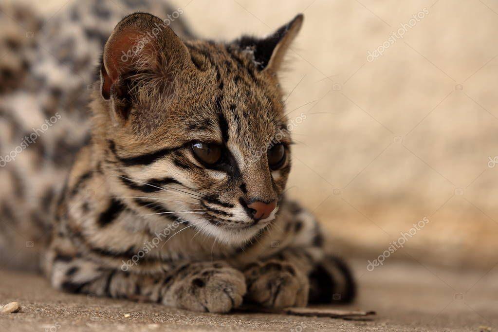 Tiger Katze oder Ozelot Katze aus Brasilien — Stockfoto