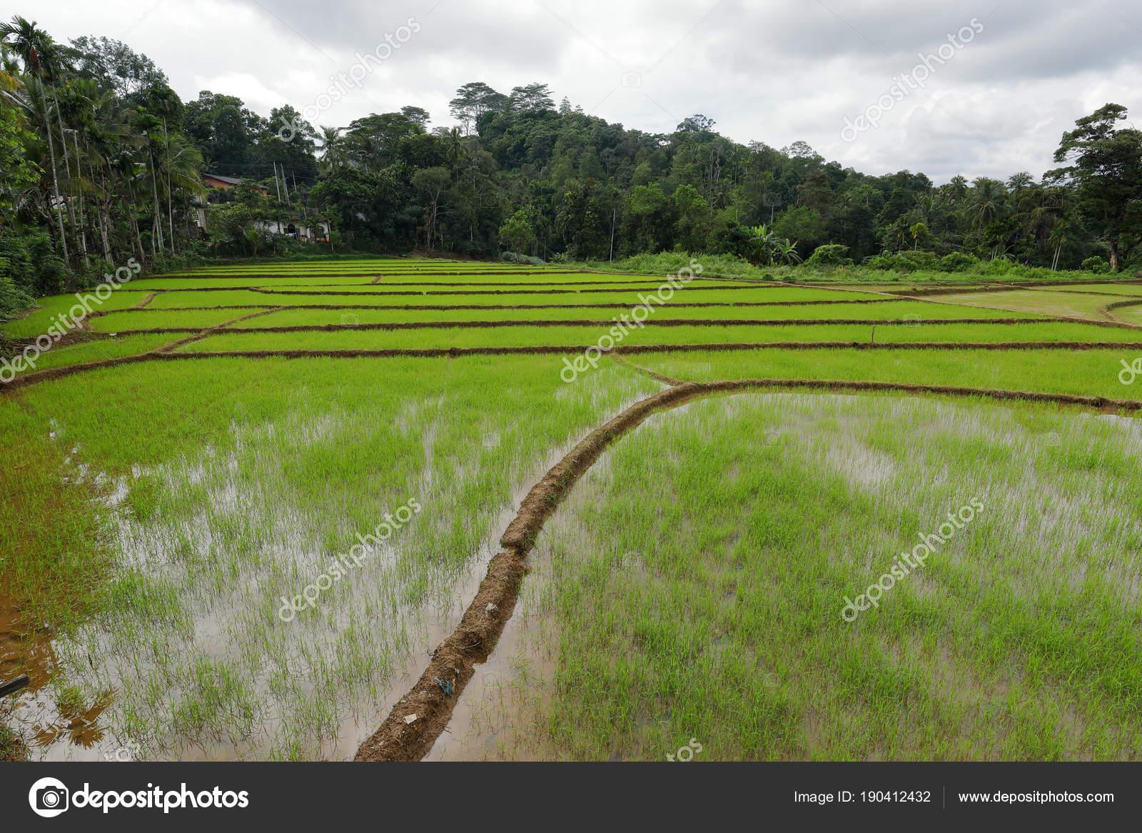 Terrazas Arroz Cultivo Arroz Sri Lanka Fotos De Stock