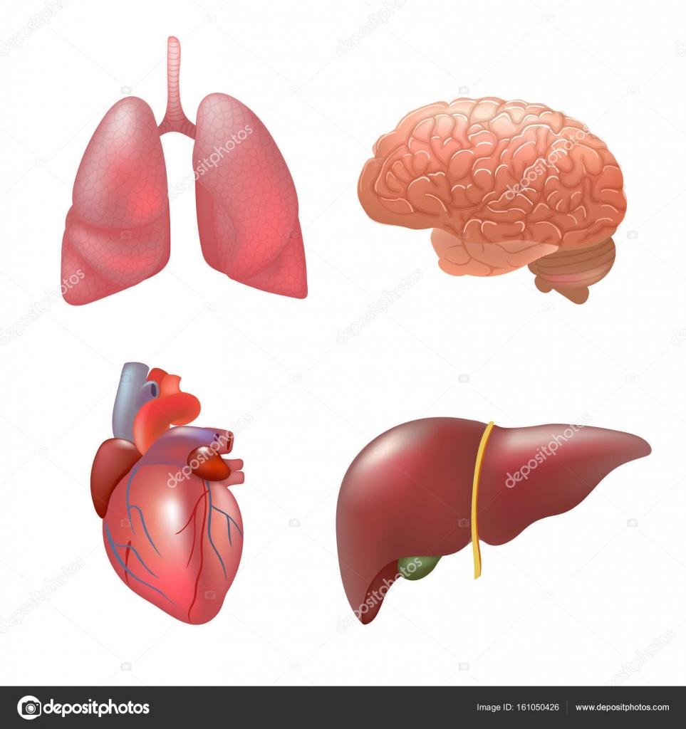 Órganos humanos realista establecer la anatomía — Archivo Imágenes ...