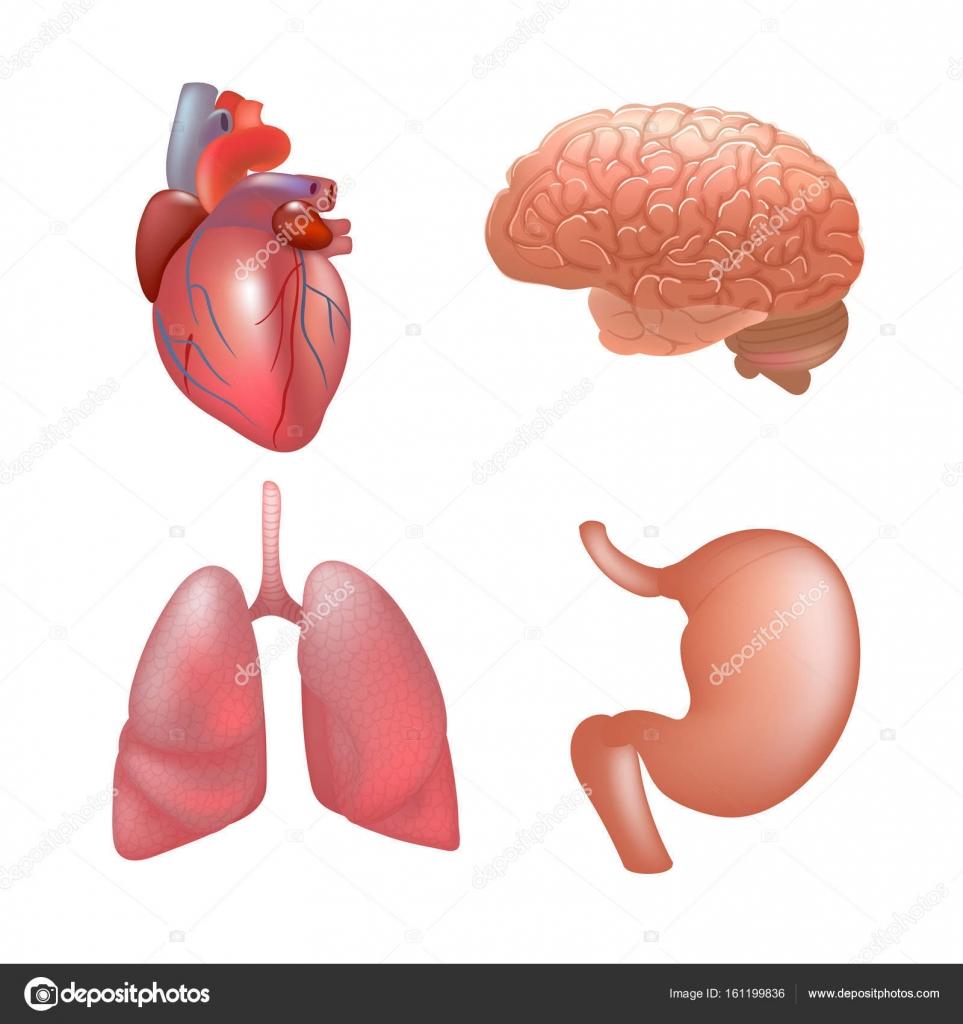 Órganos humanos realista establecer la anatomía — Vector de stock ...