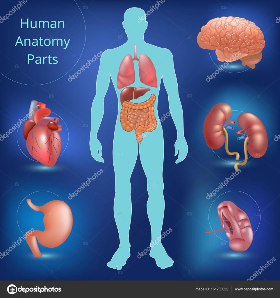 Conjunto de piezas de anatomía humana — Archivo Imágenes Vectoriales ...