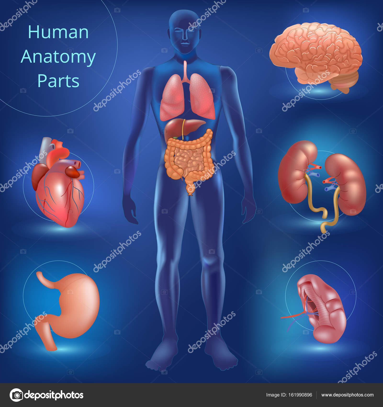 Menschliche Anatomie Stimmensatz — Stockvektor © mariaaverburg ...