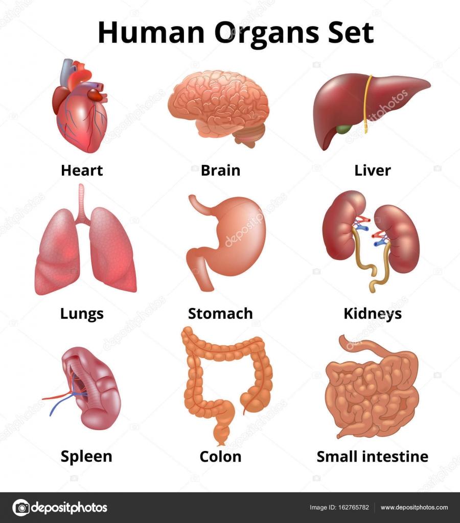 Realistischere menschliche Organen gesetzt Anatomie — Stockvektor ...