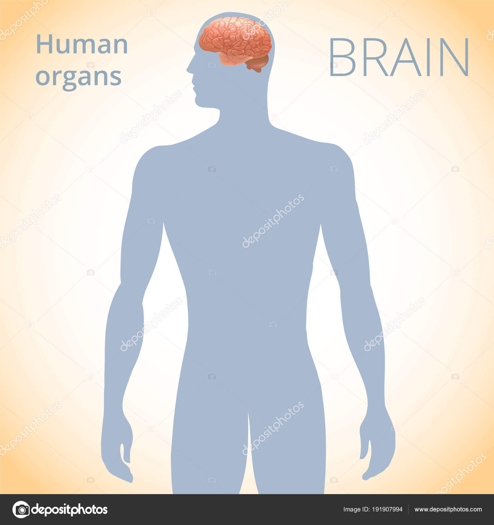 The Location Of The Brain In The Body The Human Nervous System