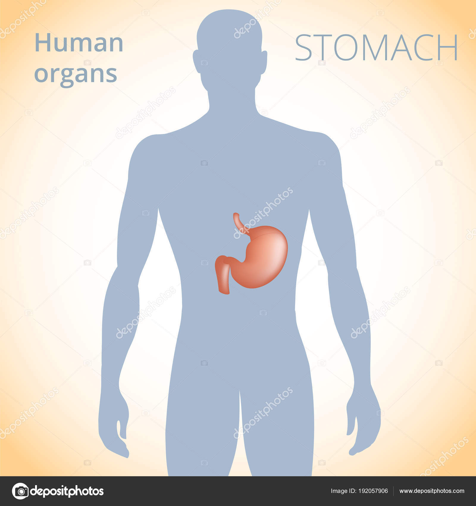 la localización del estómago en el cuerpo, el sistema digestivo ...
