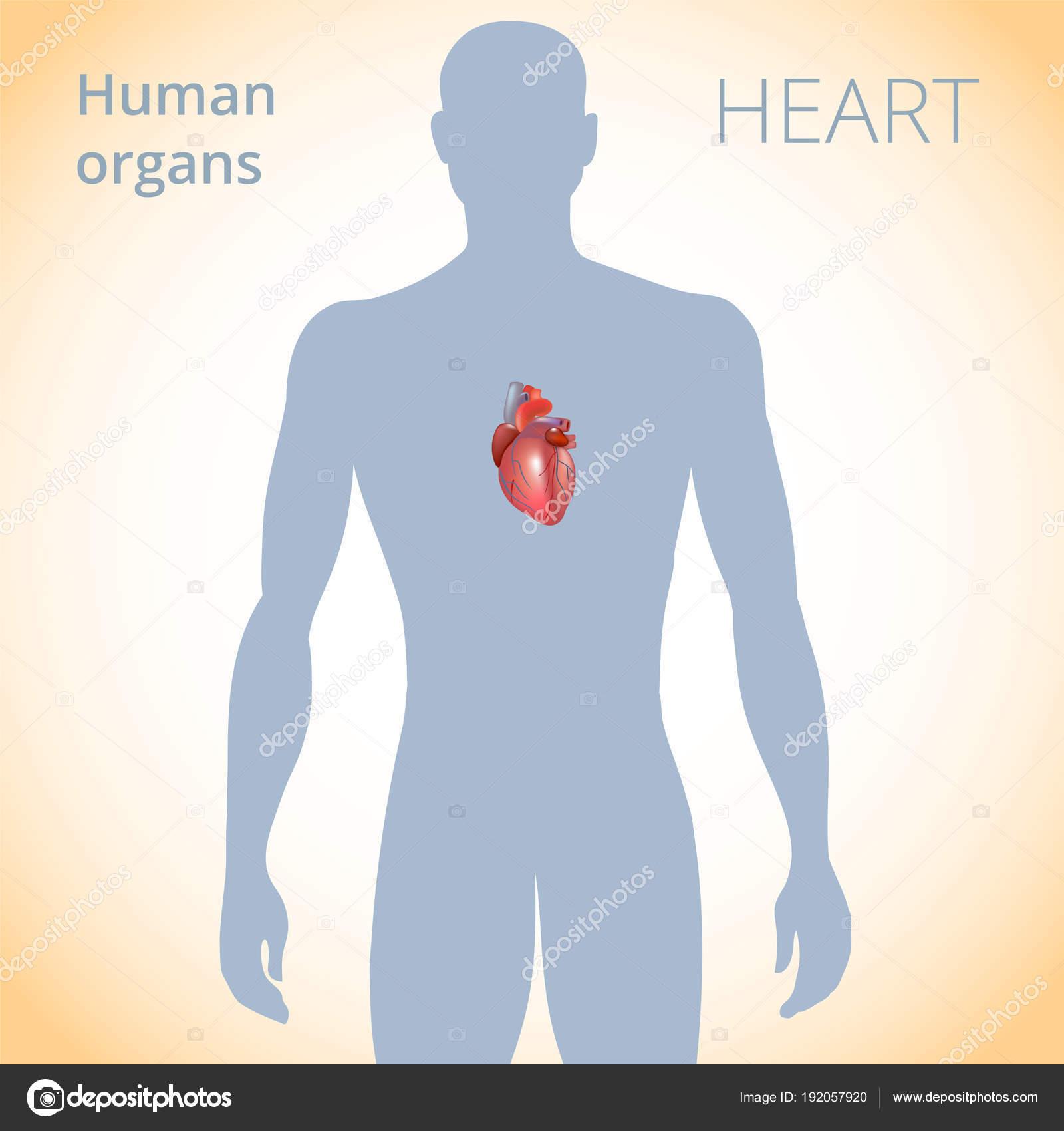 die Lage des Herzens im Körper, das menschliche Herz-Kreislauf ...