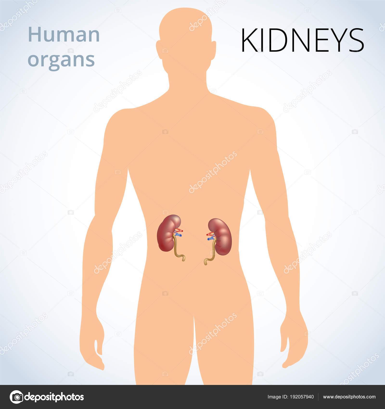 die Lage der Nieren im Körper, die menschlichen Ausscheidungsorgane ...