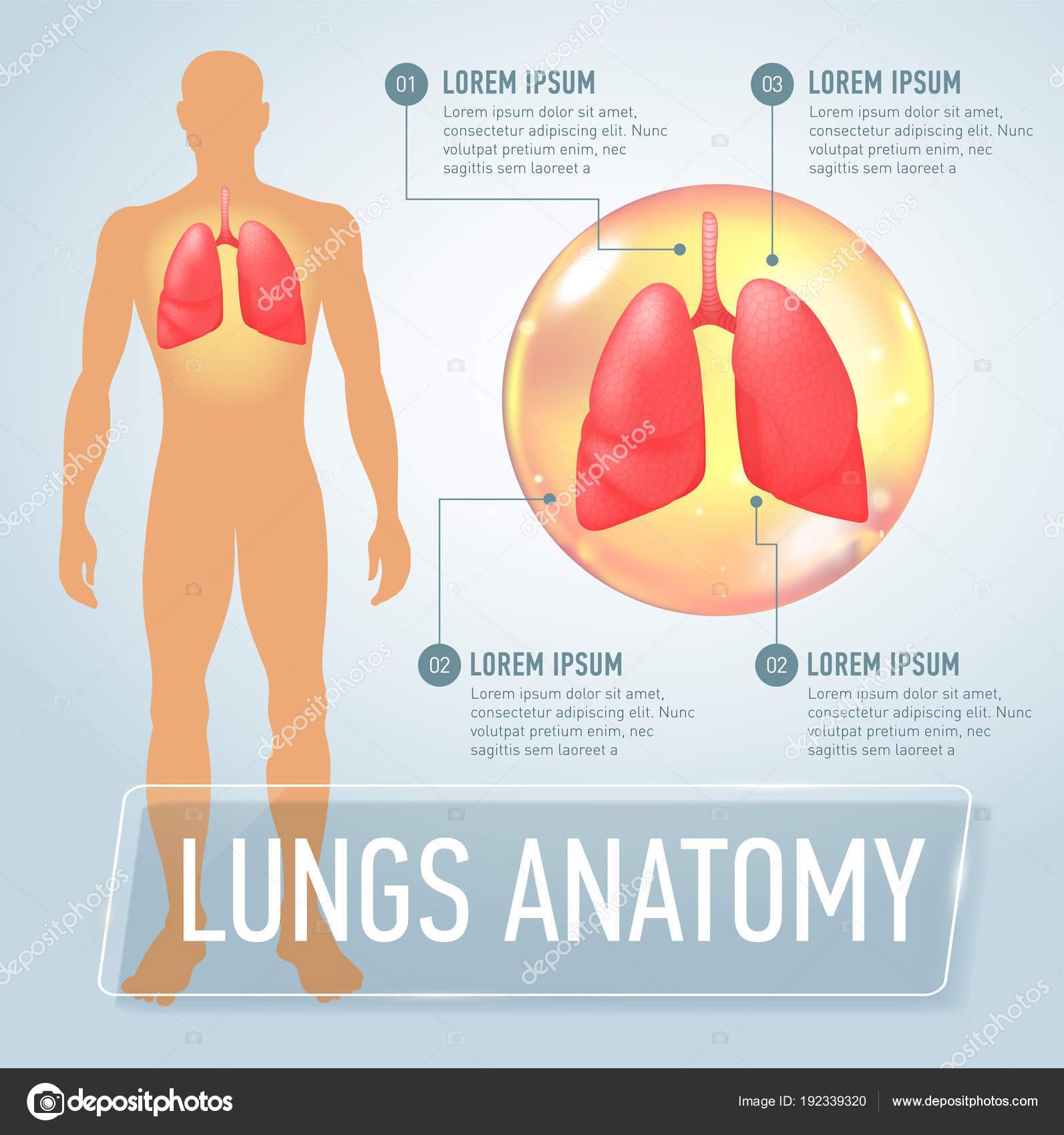 Lunge. Moderne medizinische Infografiken. Inneren Organe im ...