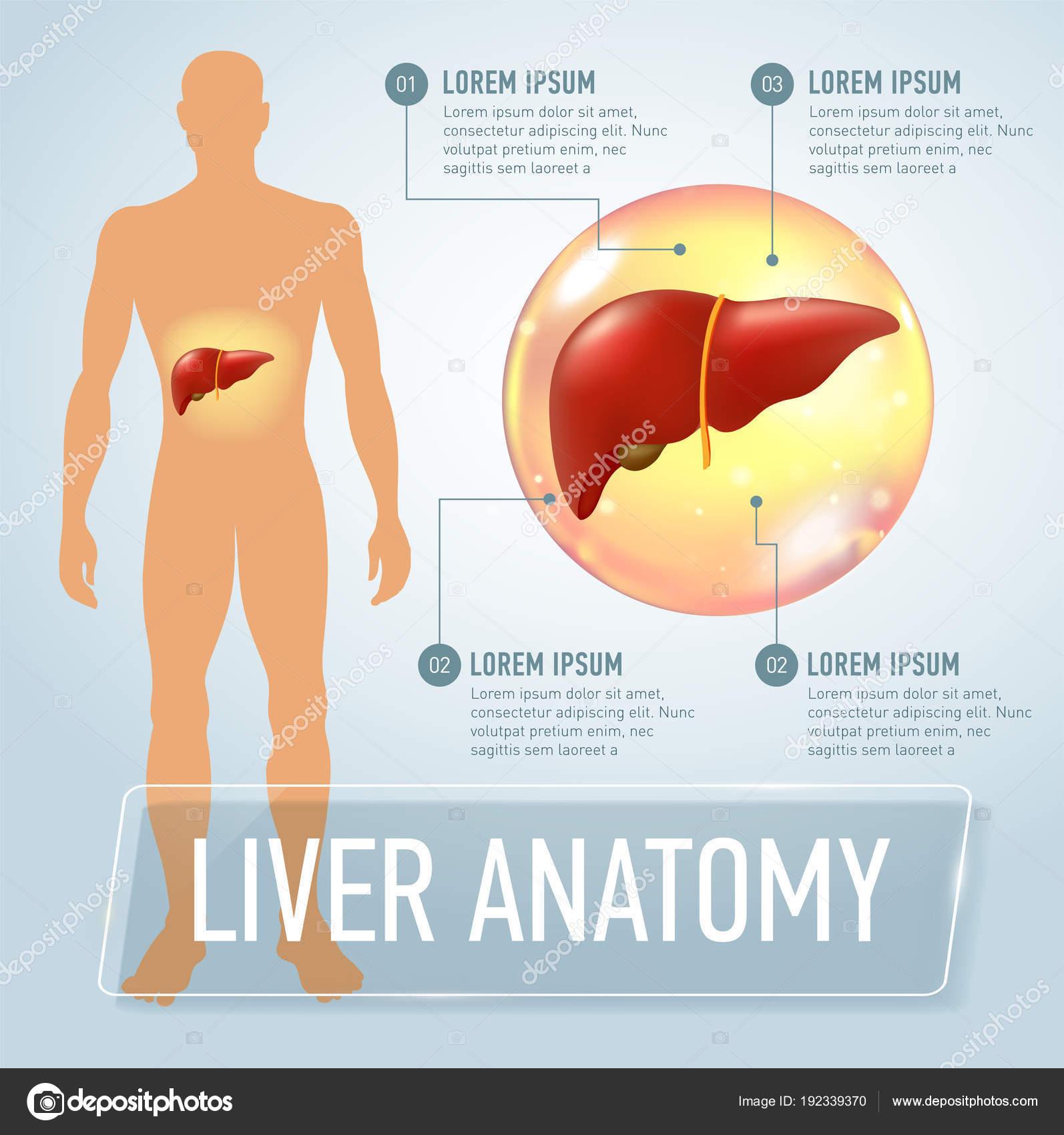 Ilustración de la bandera vector hígado infografía — Vector de stock ...