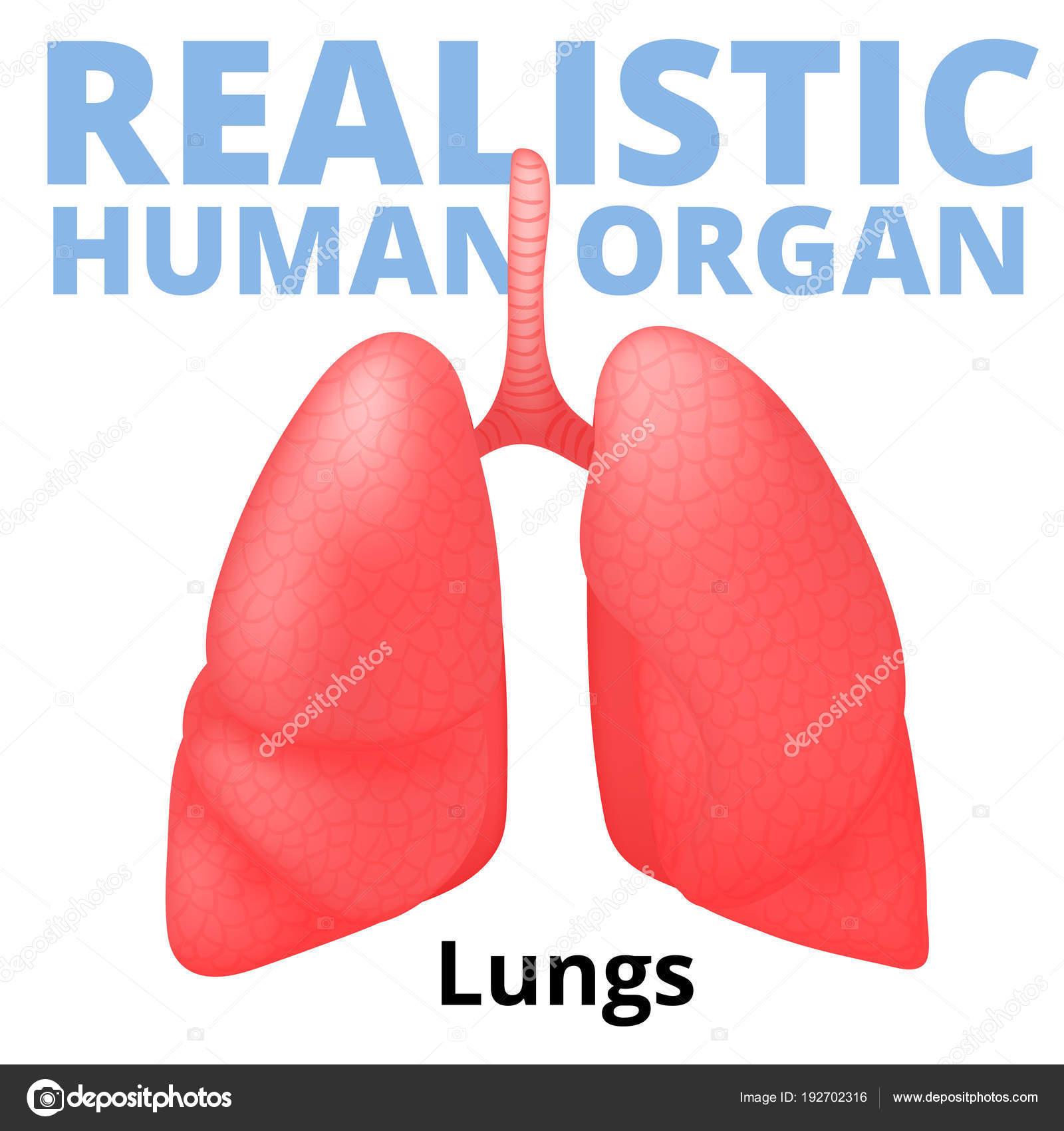 Pulmones humanos realistas aislados sobre fondo blanco — Archivo ...