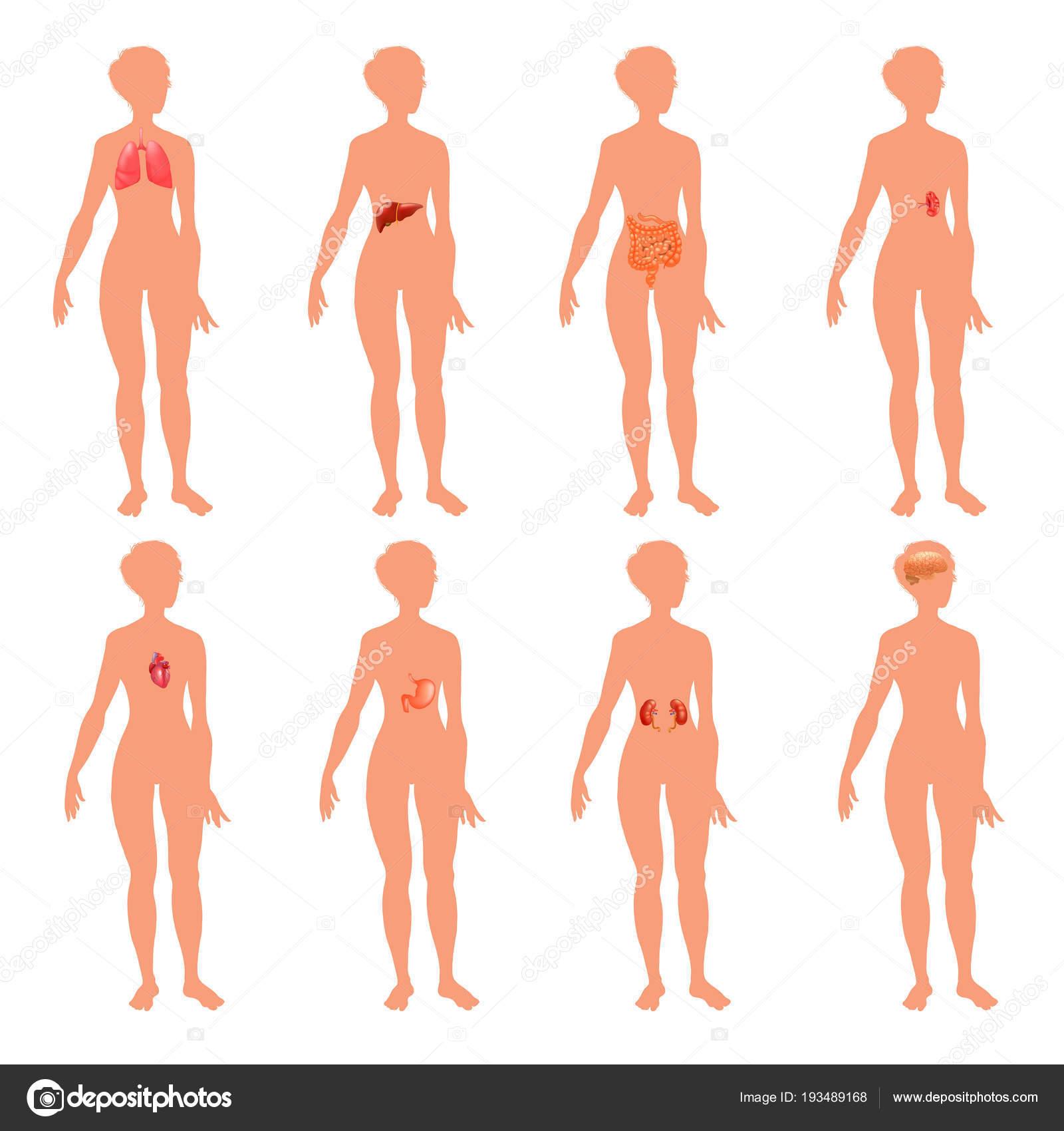 8 menschliche Körper Organ Systeme realistische erzieherische ...