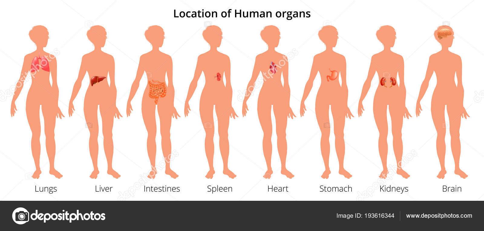 9 menschliche Körper Organ Systeme realistische erzieherische ...