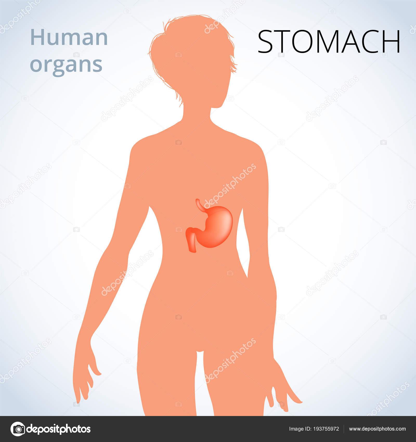 la localización del estómago en el cuerpo de la mujer, el sistema ...