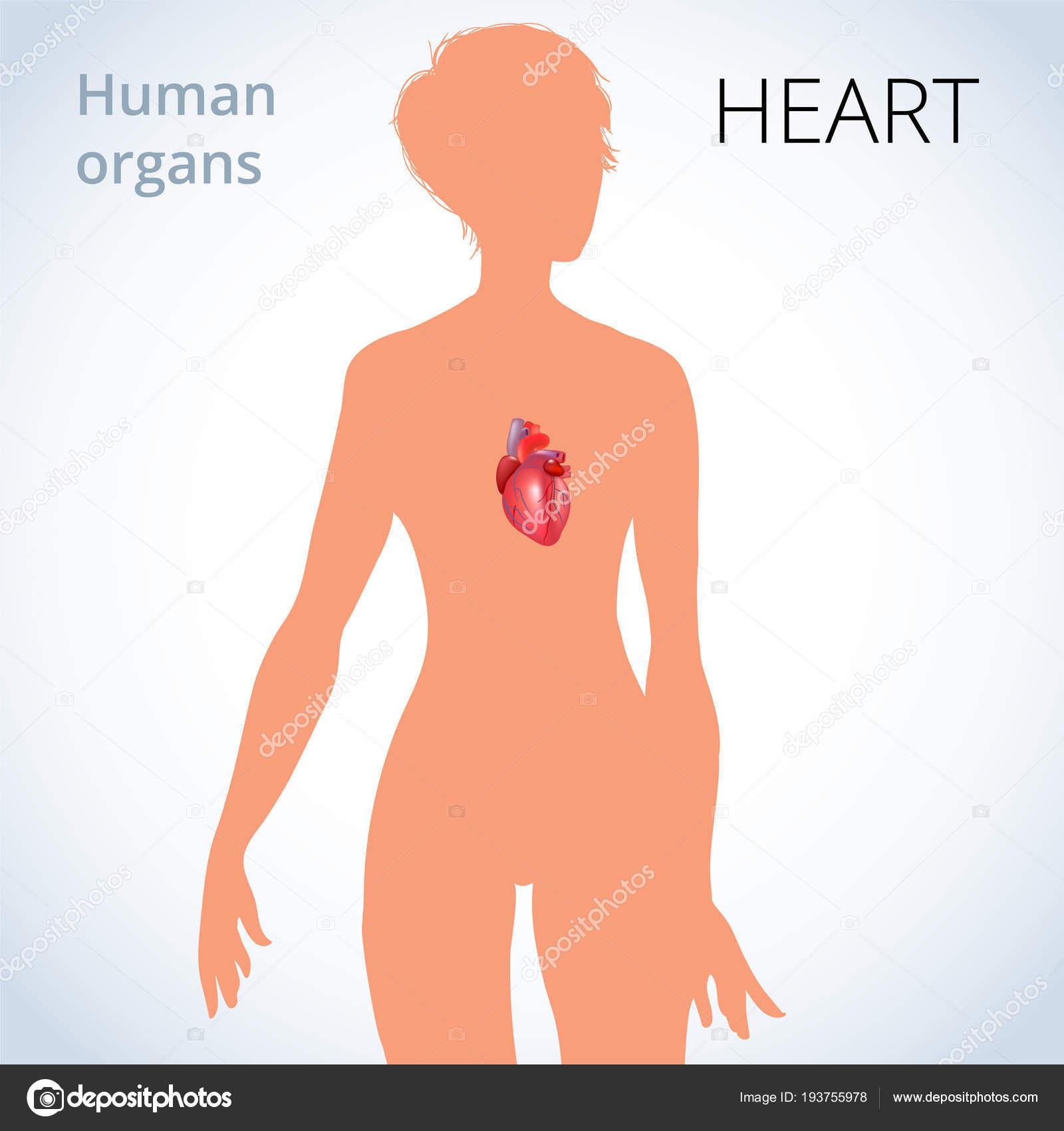 die Lage des Herzens im weiblichen Körper, das menschliche Herz ...