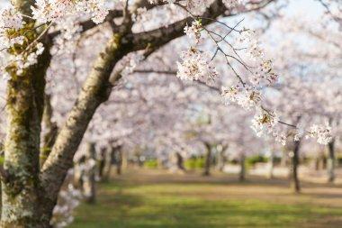 Sakura cherry blossom trees at green park stock vector
