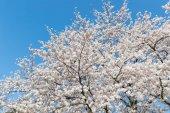 Japanese Sakura cherry blossom in spring season