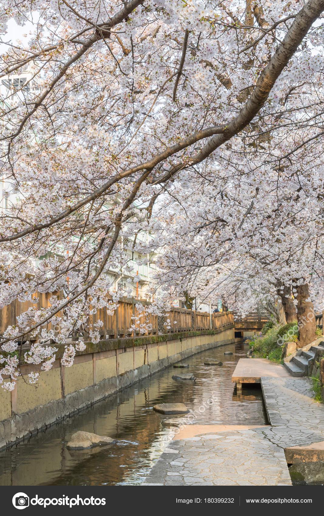 Fleur Cerisier Japonais Sakura Avec Petit Canal Saison Printaniere