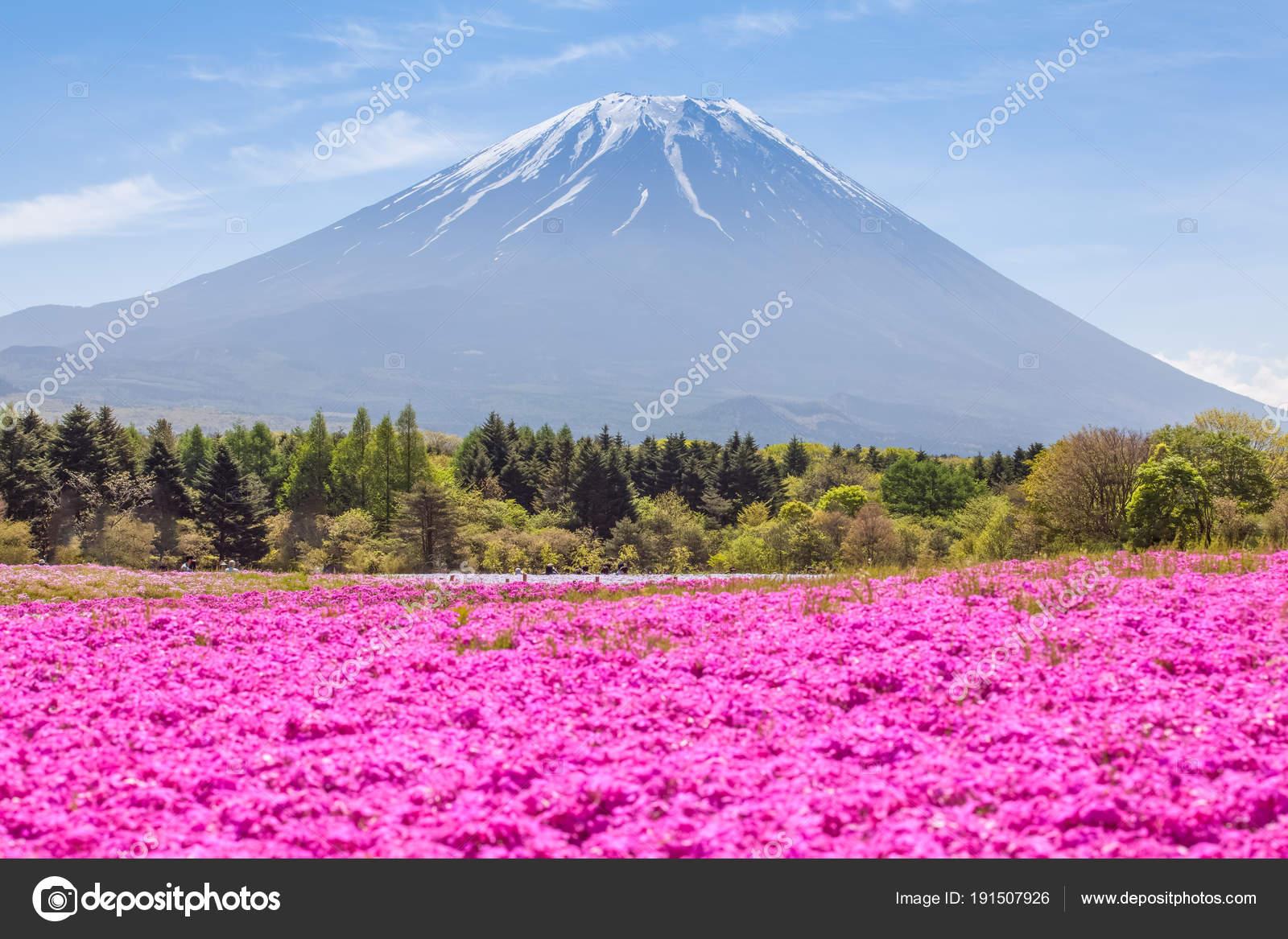 Field Pink Flowers Mountain Fuji Autumn Season Stock Photo