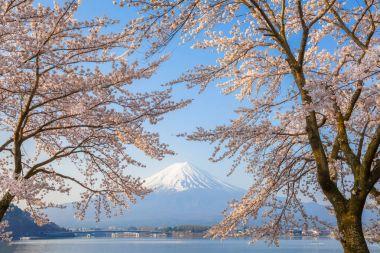 Sakura trees blossom and Mount Fuji in spring season