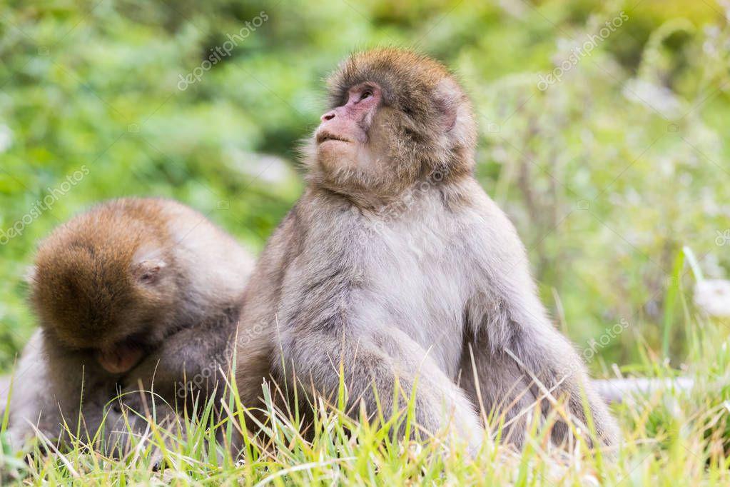 monkeys sitting in green grass in Jigokudani Monkey park