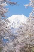 Fotografie Sakuru a hory Fuji v Oshino Hakkaie v jarní sezóně