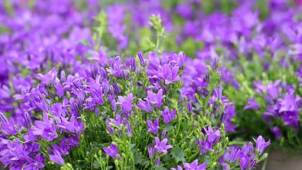 zvonek v květu v zahradě