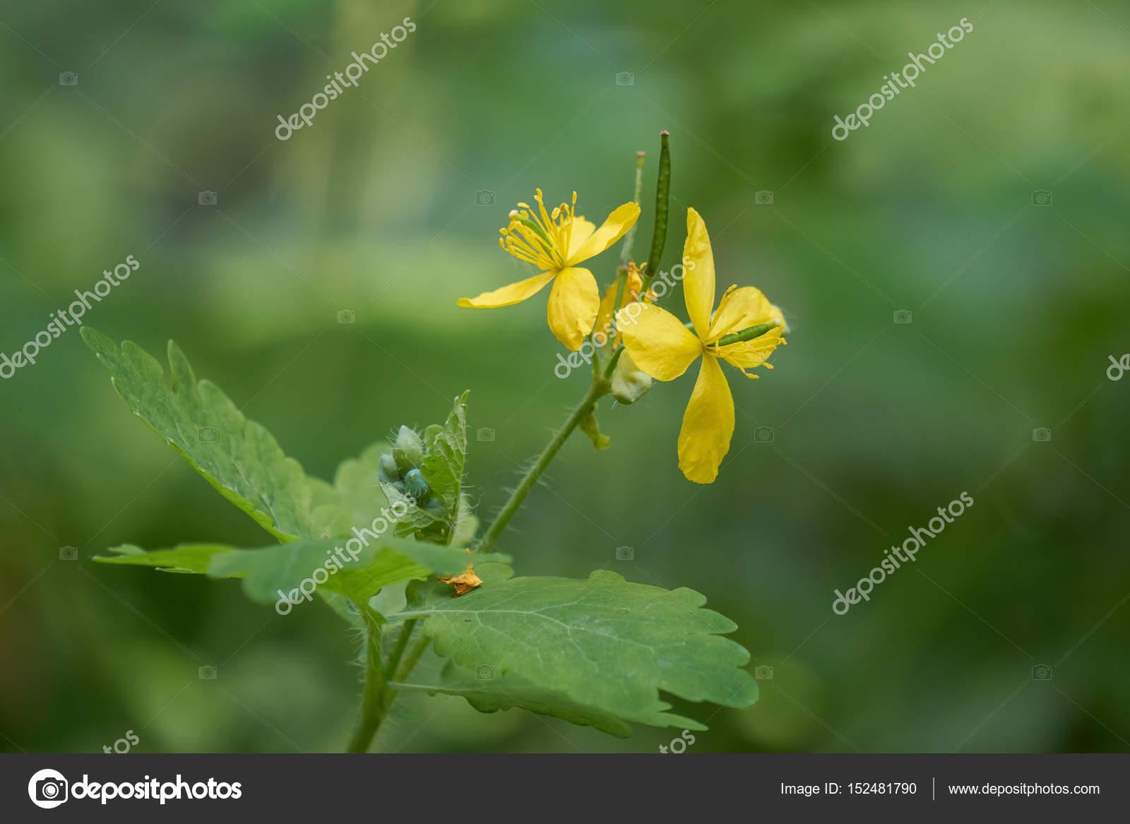 Fiori Gialli Bosco.Yellow Wildflower In The Wood Stock Photo C Spetenfina 152481790