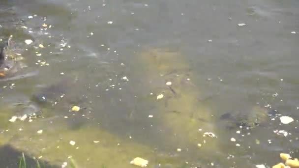 kapr a želva v rybníku