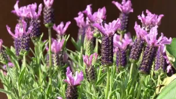 květy levandule a šalvěje v zahradě