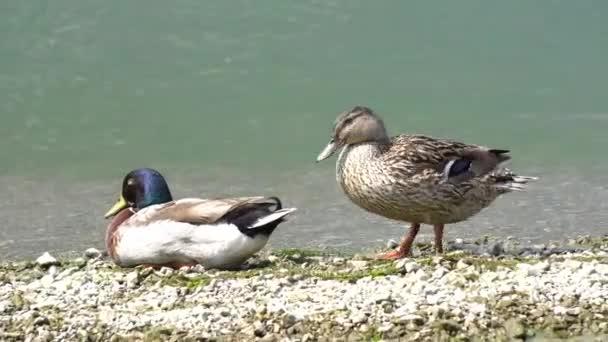 Ente am Ufer des Sees