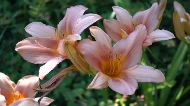 iris gladiolus in bloom
