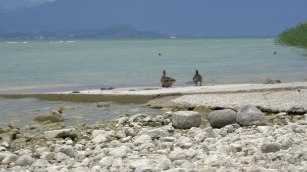 kachna na Gardském jezeře na zamračený den