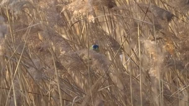 cinciarella kék cinege madár