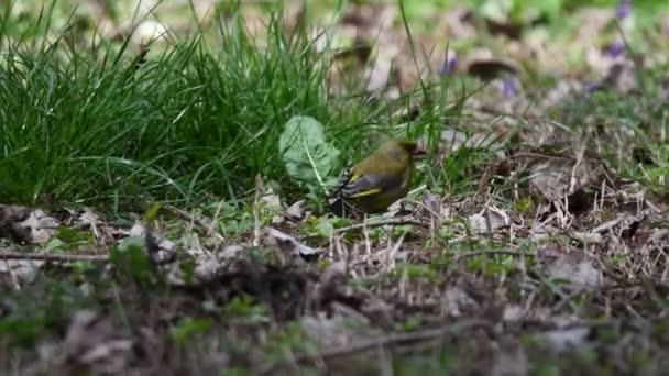 zöldike chloris bird Park