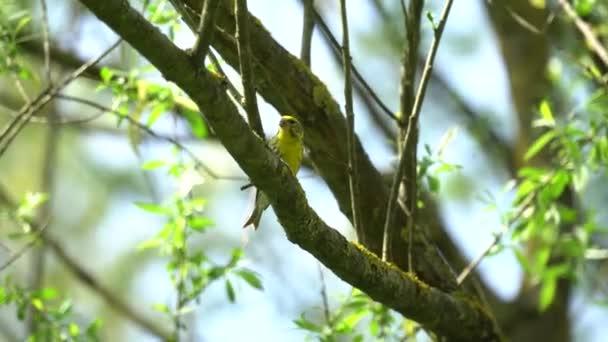 zöldike chloris a madár a fa