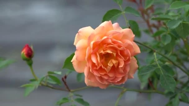 oranžová růže v zahradě