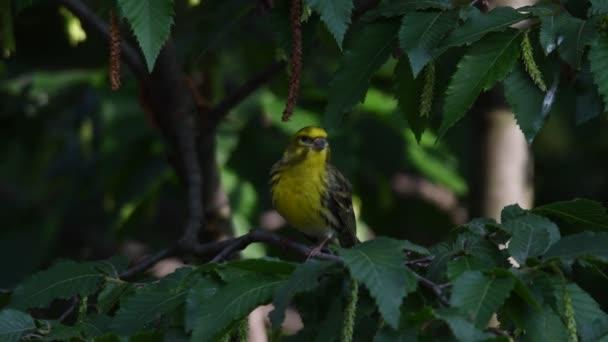 uccello di Clori Verdone sullalbero