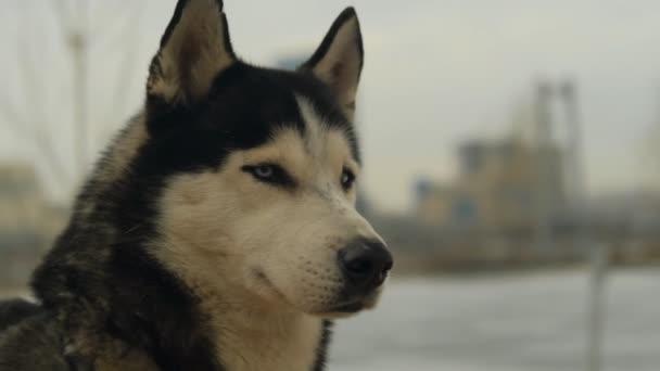 Slow motion portrait of a husky dog