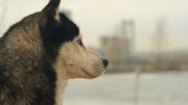 Zpomalený portrét husky psa