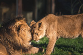 Two lions in love, Asiatic lions family