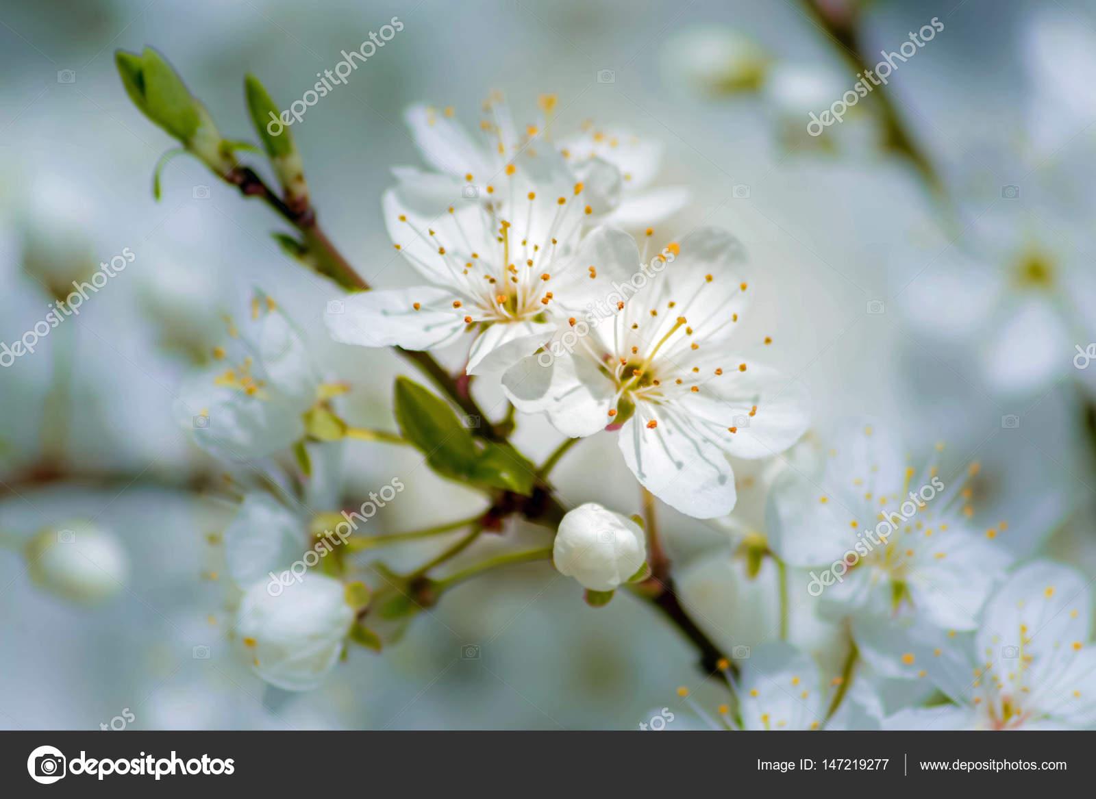 Petites Fleurs Blanches D Un Arbre Fruitier Photographie Mark1087