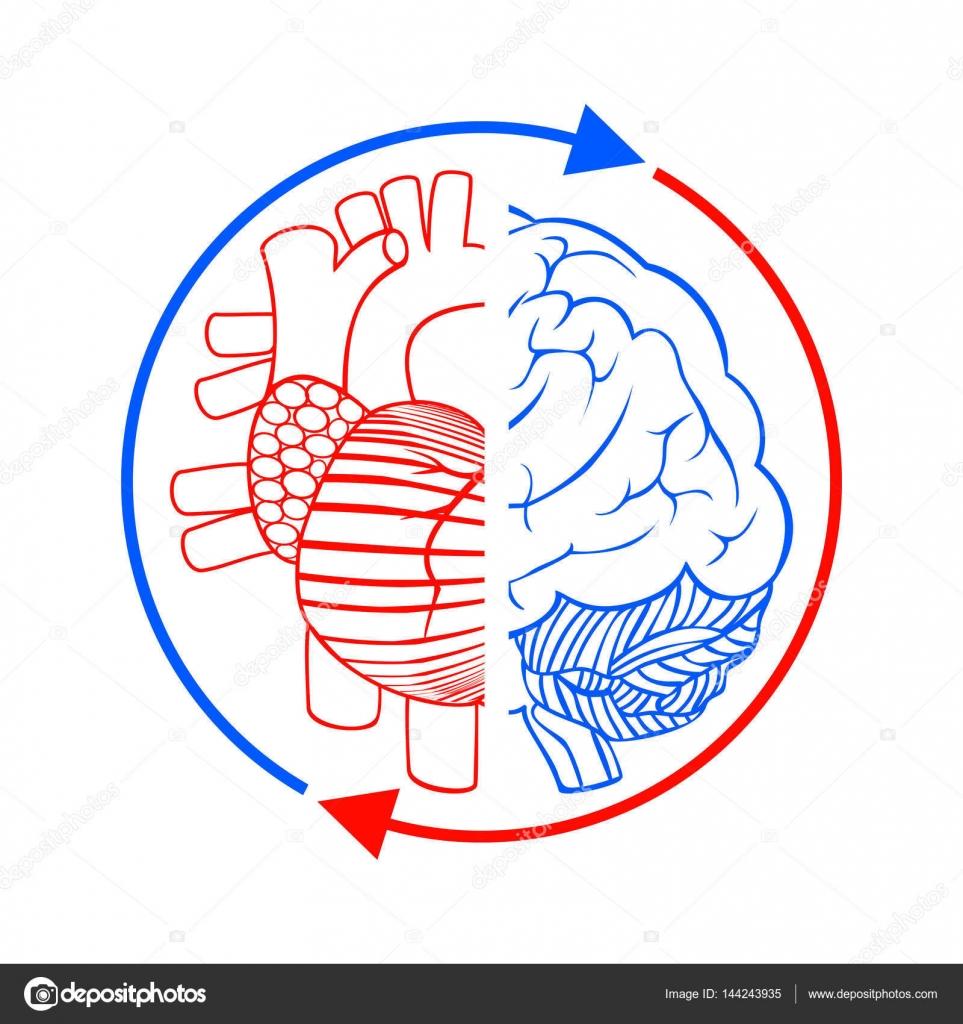 Herz, Gehirn und Blutkreislauf — Stockvektor © sudok1 #144243935