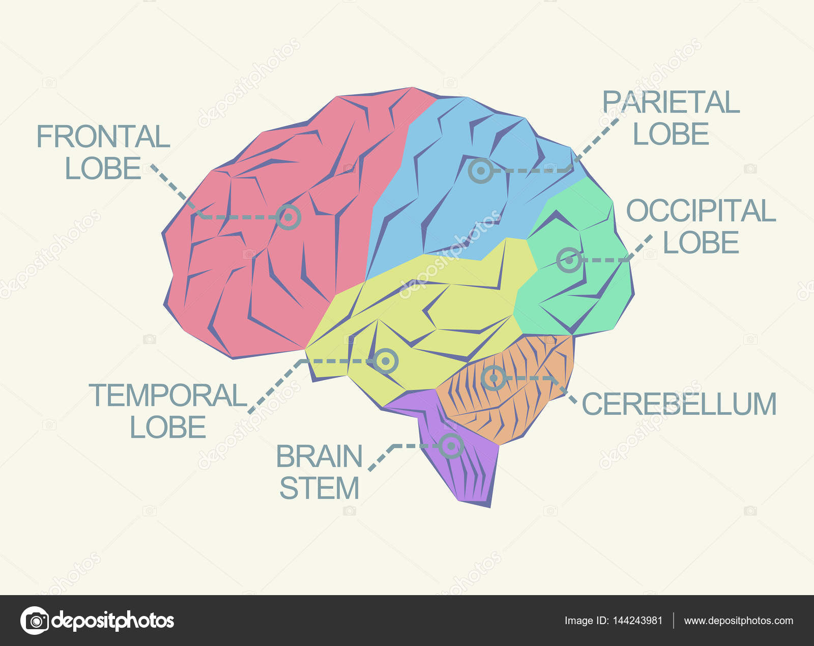 Anatomía del cerebro como ilustración abstracta — Archivo Imágenes ...