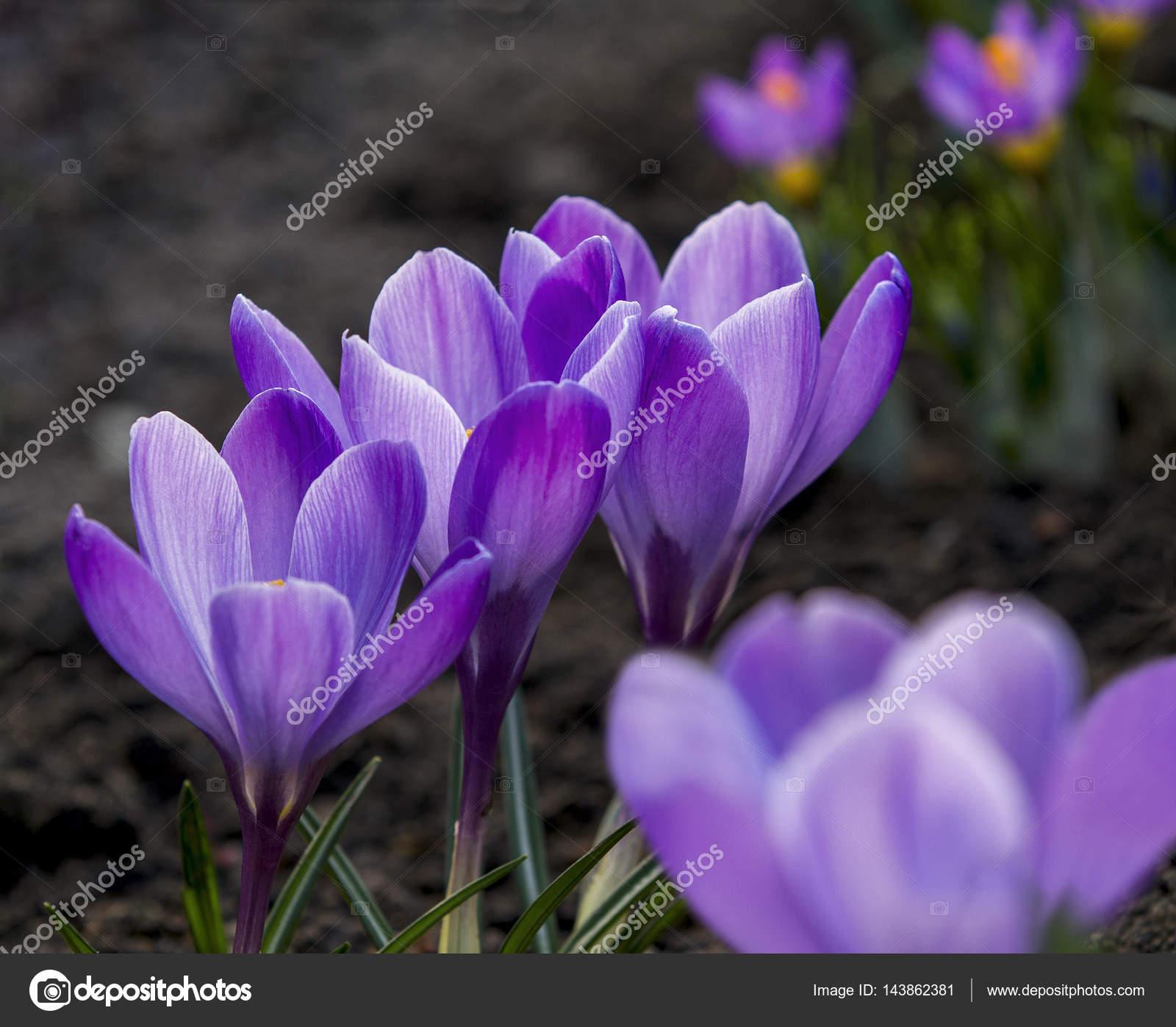 Purple Crocuses First Spring Flowers Stock Photo Notistia