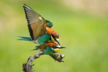 The European Bee-eaters, Merops apiaster are sitting and mating on a nice branch, during mating season, nice colorful background and soft golden light, opened wings, Czechi
