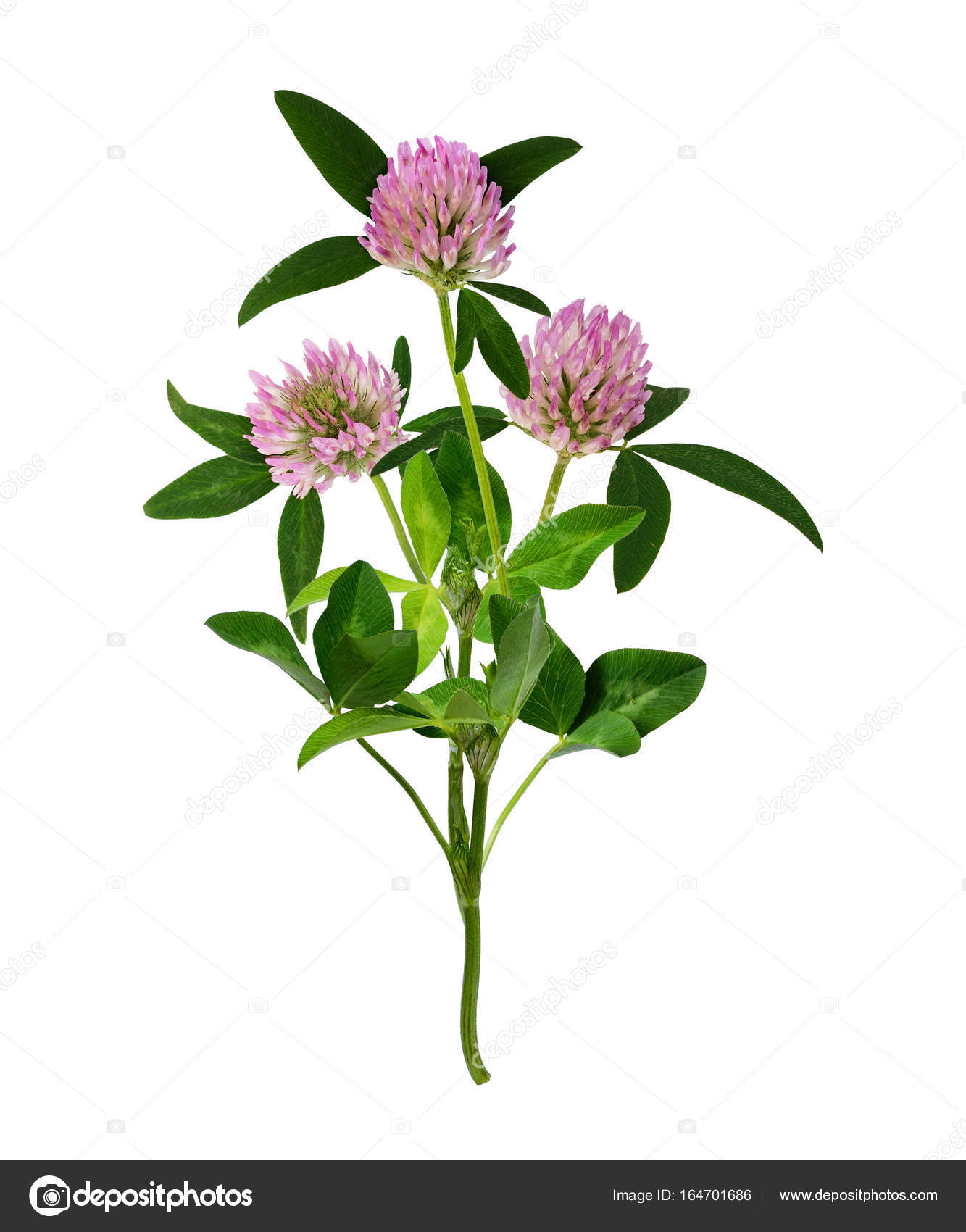 Pink Clover Flowers Bouquet Stock Photo Ksushsh 164701686