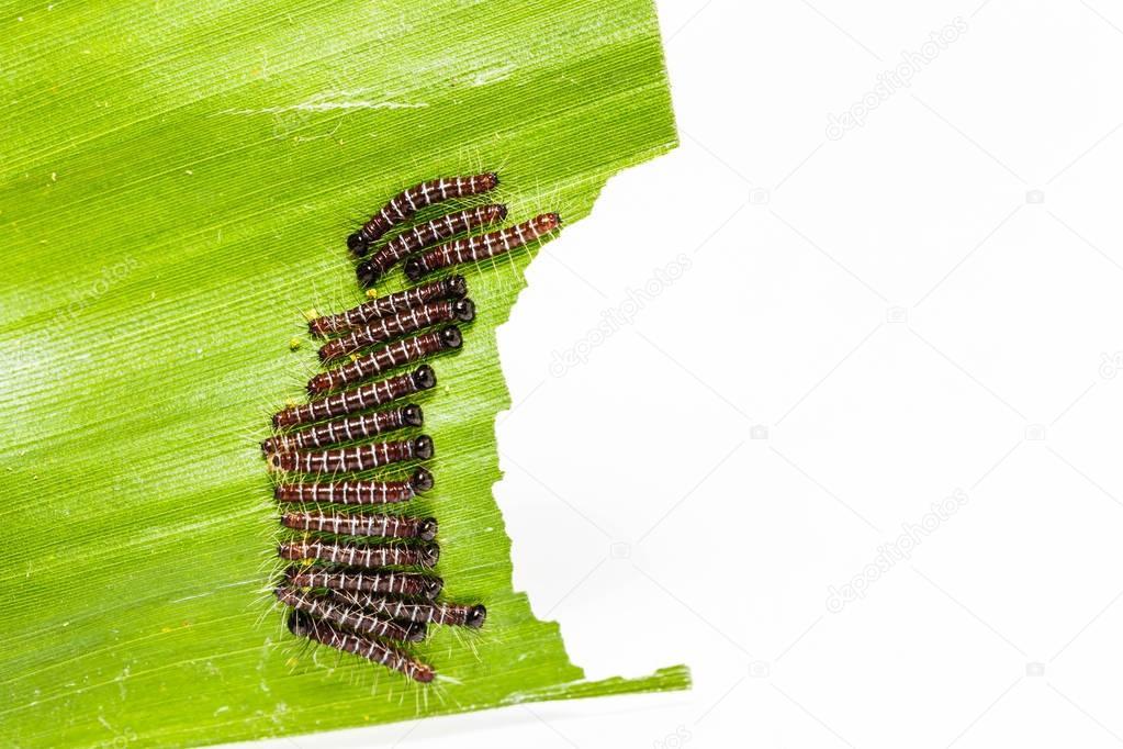 black caterpillar of common duffer butterfly ( Discophota sondai