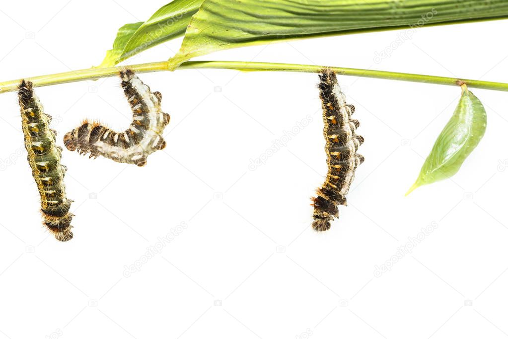 Transformation from caterpillar to chrysalis of common duffer bu