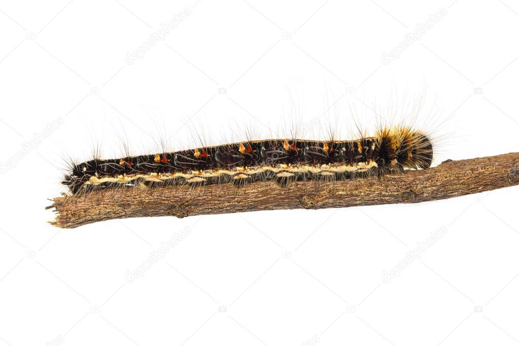 Last instar caterpillar of common duffer butterfly ( Discophota